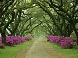 Collection A Beautiful Pathway Lined with Trees And Purple Azaleas Print