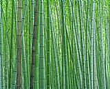 Bright Green Bamboo Forest in Kyoto Japan by Collection