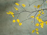 Collection Yellow Autumnal Birch Betula Tree Limbs Against Gray Stucco Wall Print