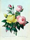 Pierre Joseph Redoute Rosa Lutea and Rosa Indica Print
