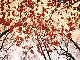Raymond Gehman Red Maple And Autumn Sky Print